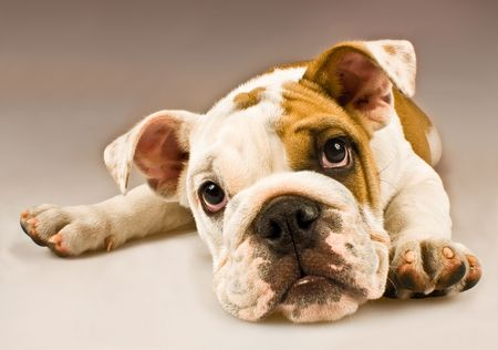 sweetness: Puppy dog isolated on gradient background