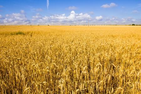 Golden Weizenfeld und blauer Himmel