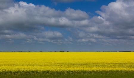 Bleu sky clouds over wheat field Saskatchewan