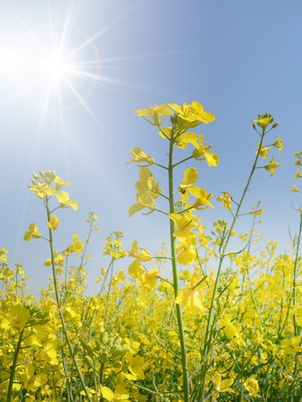 Nature background rapeseed field photo