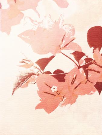 bougainvillea: Flower watercolor - soft vintage floral background