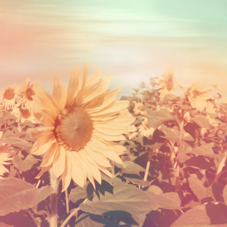 sunflower field: Sunflower field in instagram style with soft oil paint filter Stock Photo