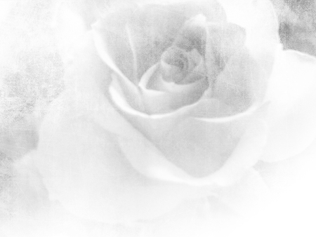 rose: Vintage rose - white flower background