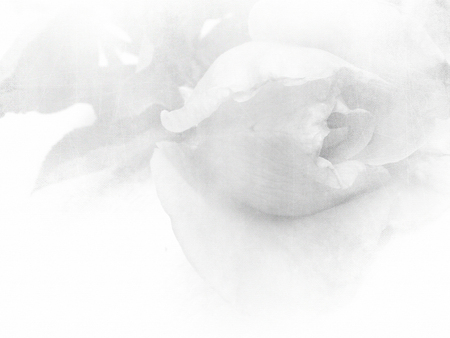 faded: White rose close up - soft vintage flower background Stock Photo