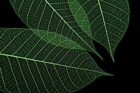 Closeup of three green leaves on black background  Stock Photo - 4837587