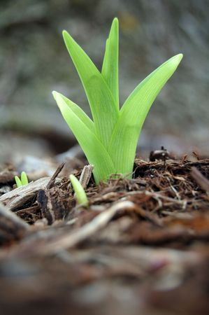 New spring plant day lilies growing in mulch Stock Photo - 5674870