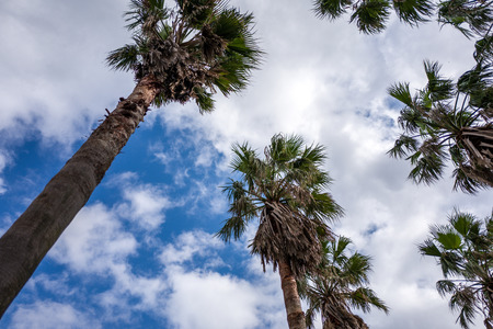 columnar: palm trees towering into the sky