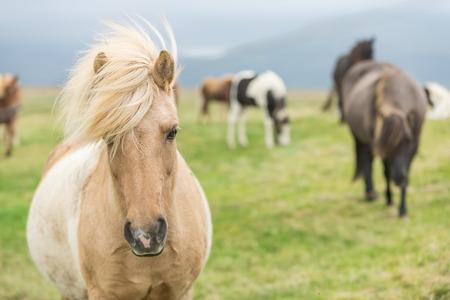 Wild Icelandic horse looking at camera. photo