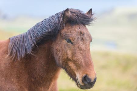 Close portrait of Icelandic horse in the Pasture photo