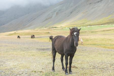 Portrait of Icelandic Wild Horses photo