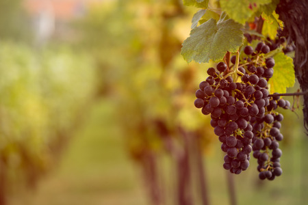 moravia: Detail view of vineyard with ripe grapes at sunset. Beautiful grapes ready for harvest. Golden evening light. Shallow depth of field.