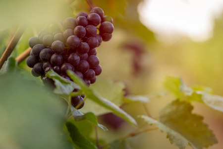 Detail view of vineyard with ripe grapes at sunset. Beautiful grapes ready for harvest. Golden evening light. Shallow depth of field.