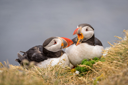 arctica: Portrait of cute couple of Atlantic Puffins (Fratercula arctica) in Latrabjarg cliffs, Iceland. Stock Photo