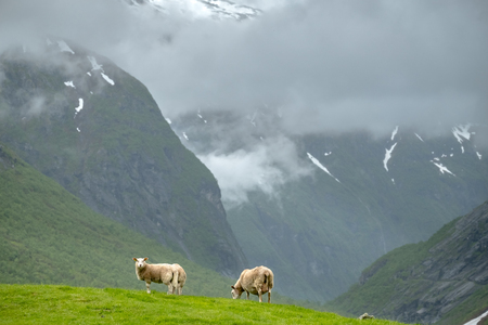 Scenic view of grazing sheep in Norway mountains.