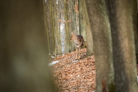 Fallow Deer (Dama dama), in autumn forest, Czech Republic. Beautiful autumn colorful woods. Stock Photo