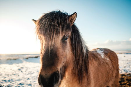 Typical Icelandic hairy horse grazing in snow blizzard.