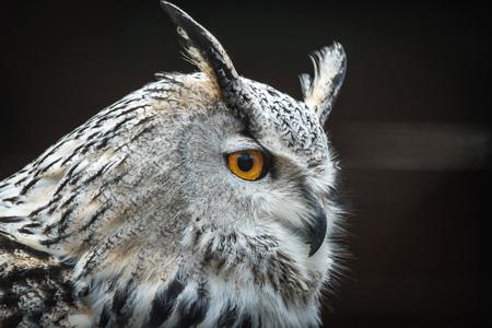 Close portrait of Siberian eagle owl (Bubo bubo sibiricus).