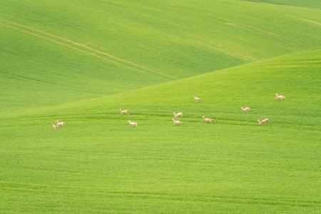 Fallow Deer (Dama dama) in a field. Deer in the nature habitat. Animal in the forest meadow. Wildlife scene in Europe. Reklamní fotografie