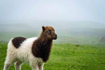 Baby sheep in Faroe Islands.