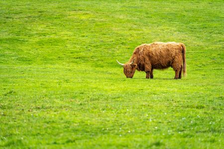 Green meadow with highland cattle, highland cow in Faroe Islands.