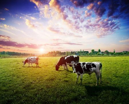 Pasto del campo del prado de las vacas. Paisaje de noche de verano