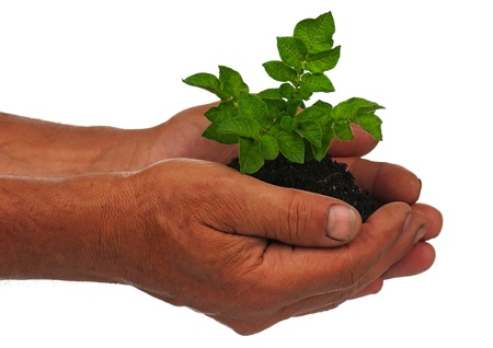 Young potato plant in man hands isolated on white background