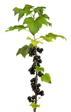 bacca: Black currants