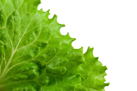 Green lettuce photo