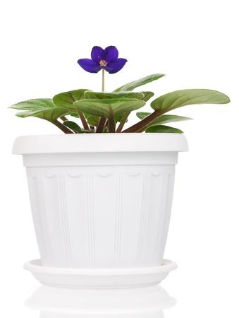 House flower Stock Photo