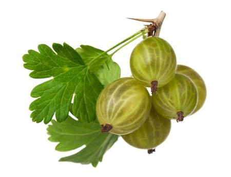 gooseberry bush: Ripe gooseberries
