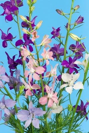 Delphinium flowers photo