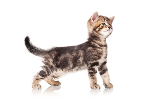 Cute kitten standing profile side view over white background cutout photo