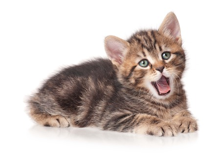 Yawning cute kitten isolated on white background cutout photo