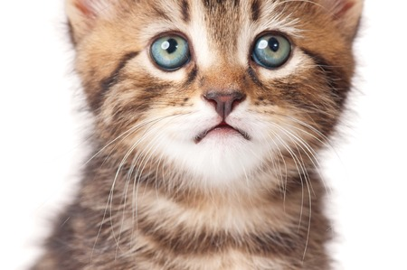 Lovely kitten looks faithfully up over white background close-up. Focus on a nose Stock Photo - 22912039