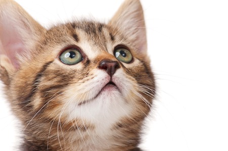 Portrait of cute little kitten over white background close-up