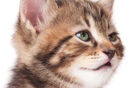 Portrait of cute sleepy kitten over white background close-up Stock Photo - 23377713