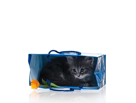 intriguing: Scared cute kitten in a gift bag isolated on white background