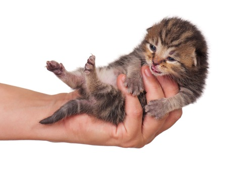 neonate: Neonate cute kitten in a woman hand isolated on white background