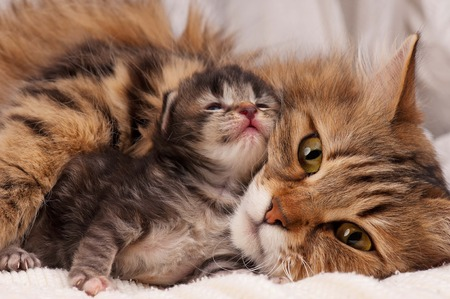 Lovely siberian cat with newborn kitten close-up Reklamní fotografie