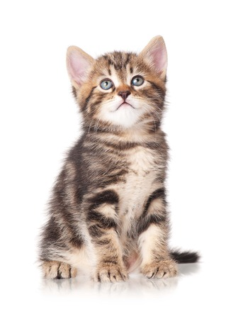 self harm: Serious cute little tabby looks up isolated on white background