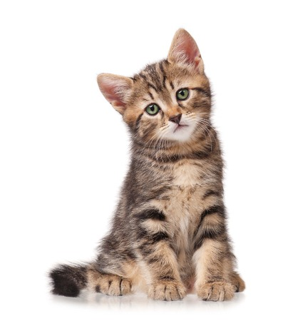 Serious cute little tabby looks forward isolated on white background Stock Photo