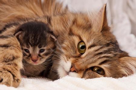 Mooie Siberische kat met pasgeboren katje close-up