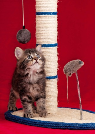 Curious kitten on the scratching post over red  photo