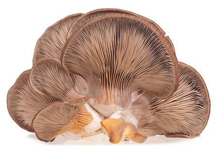흰색 배경에 고립 된 층 곰 팡이 텍스처와 굴 버섯