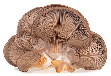 Oyster mushrooms with lamellar fungus texture isolated on white background