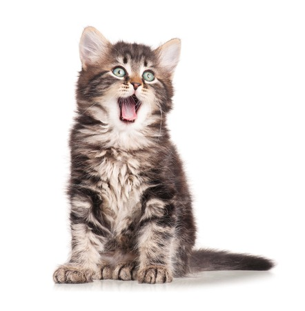 El bostezo gatito lindo aislado en el fondo blanco del recorte Foto de archivo
