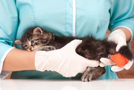 Cute little kitten in hands at the veterinarian over white  photo