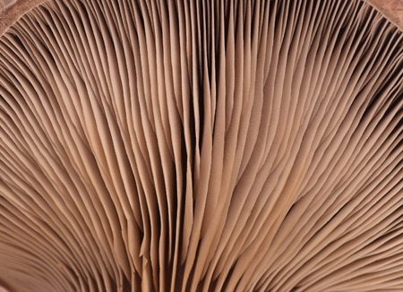 lamellar: Oyster mushroom with lamellar fungus texture close-up Stock Photo