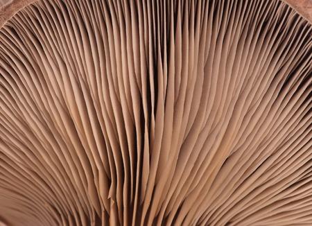 lamellar: Oyster mushroom with lamellar fungus texture close-up Stock Photo