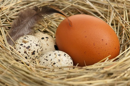 potentiality: Raw eggs in a birds nest with feathers close-up